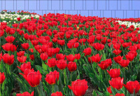 Bedruckter Zaun Sichtschutz Motiv Tulpenmeer
